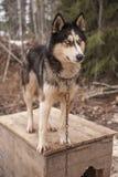 Animal enroué de Sibérien de chien Photos libres de droits