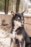 Animal enroué de Sibérien de chien Images libres de droits