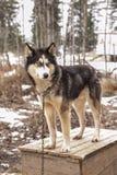 Animal enroué de Sibérien de chien Image libre de droits