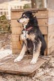Animal enroué de Sibérien de chien Photographie stock libre de droits