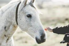 Animal et personnes émouvants de mode de vie de main de tête de cheval blanc Photo stock