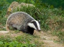 Animal européen de blaireau Image libre de droits