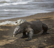 Animal exótico do dragão de Indonésia da ilha de Komodo Imagem de Stock