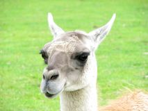 Animal expressions-A sarcastic lama Royalty Free Stock Photos