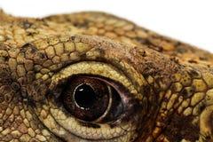 Animal eye Royalty Free Stock Photography