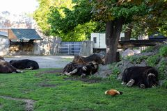 Animal fâcheux Boeuf de musc mal peigné minable dans le zoo de Moscou photos libres de droits