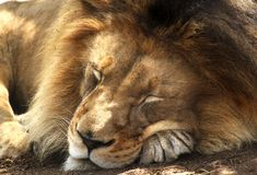 Animal Faces - African Lion Up Close. A big furry, ferocious African Lion is snoozing in the afternoon sun royalty free stock images