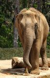 Animal Faces - Elephant. A huge African Elephant almost face-to-face stock photography