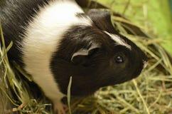 Animal familier américain noir et blanc de cobaye de cobayes photo libre de droits