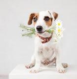 Animal familier avec un bouquet des fleurs dans dents image libre de droits