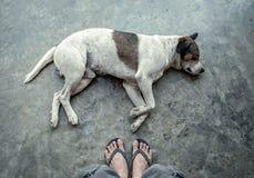 Animal familier blanc de chien dormant sur le plancher Photos stock