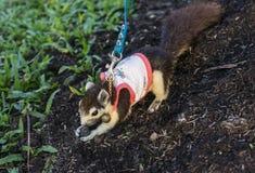 Animal familier d'écureuil Images libres de droits
