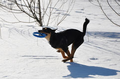 Animal familier de chien fonctionnant sur la neige d'hiver Images libres de droits