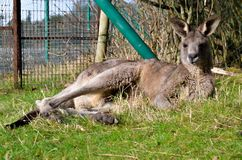 Animal familier animal de ferme de zoo d'Australie de wallaby de kangourou Photographie stock libre de droits