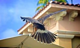 Animal familier de Harris Hawk image stock