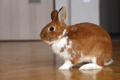 Animal familier de lapin Images stock