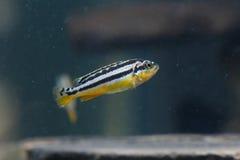 Animal familier de poissons de zèbre Images stock