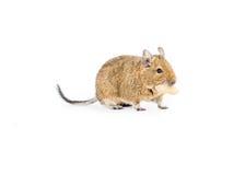 Animal familier Degu Image libre de droits