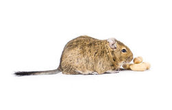 Animal familier Degu Images libres de droits