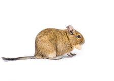 Animal familier Degu Images stock
