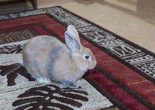 Animal familier domestiqué par lapin d'or, pensant à l'avenir approprié aux enfants Images libres de droits