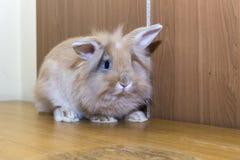 Animal familier domestiqué par lapin d'or, pensant à l'avenir approprié aux enfants Images stock
