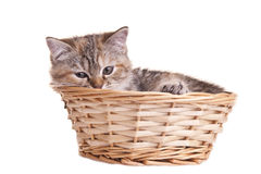Animal familier gentil blanc de chaton de chat petit Photo stock