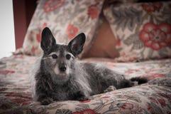 Animal familier majestueux Image libre de droits