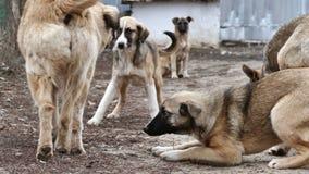 Animal familier mignon de chiots de bête perdue de chien jouant ensemble le paquet de chiens égarés banque de vidéos