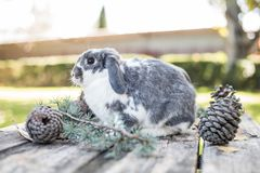 Animal familier mignon de lapin marchant sur une table en bois avec des pins extérieurs Photographie stock