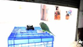 Animal familier, perroquet mignon, moine Parakeet banque de vidéos