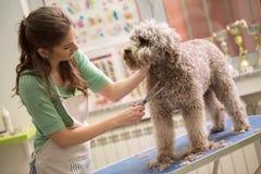 Animal familier se toilettant avec des ciseaux Photos libres de droits