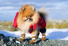 Animal familier sur une promenade Image stock
