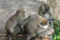 Animal, famille de Monky Photo libre de droits
