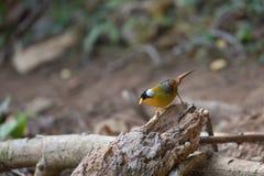 Animal fantástico e onde encontrá-los - argentauris de Leiothrix Foto de Stock Royalty Free