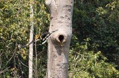 Animal fantástico e onde encontrá-los - bicornis do Buceros/grande hornbill Fotografia de Stock Royalty Free