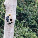 Animal fantástico e onde encontrá-los - bicornis do Buceros/grande hornbill Imagens de Stock