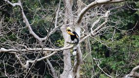 Animal fantástico e onde encontrá-los - bicornis do Buceros/grande hornbill Foto de Stock Royalty Free