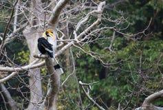 Animal fantástico e onde encontrá-los - bicornis do Buceros/grande hornbill Imagens de Stock Royalty Free