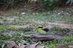Animal fantástico e onde encontrá-los - Cissa chinensis Fotografia de Stock