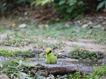 Animal fantástico e onde encontrá-los - Cissa chinensis Fotos de Stock