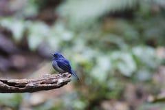 Animal fantástico e onde encontrá-los - concretus de Niltava Fotografia de Stock
