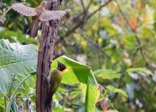 Animal fantástico e onde encontrá-los - flavinucha do Picus Imagem de Stock Royalty Free
