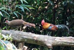 Animal fantástico e onde encontrá-los - gallus do Gallus/junglefowl vermelho Fotografia de Stock