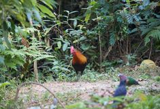 Animal fantástico e onde encontrá-los - gallus do Gallus/junglefowl vermelho Imagem de Stock Royalty Free