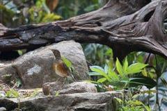Animal fantástico e onde encontrá-los - hortulorum do Turdus Imagens de Stock Royalty Free