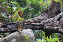 Animal fantástico e onde encontrá-los - hortulorum do Turdus Imagem de Stock