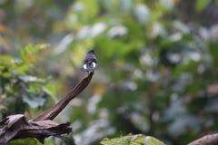 Animal fantástico e onde encontrá-los - leucurum de Cinclidium Imagem de Stock