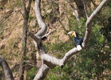 Animal fantástico e onde encontrá-los - undulatus de Rhyticeros/hornbill envolvido Fotografia de Stock