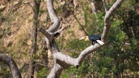 Animal fantástico e onde encontrá-los - undulatus de Rhyticeros/hornbill envolvido Imagens de Stock